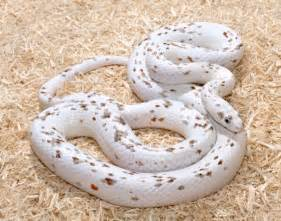 palmetto corn snake color morph cold blooded