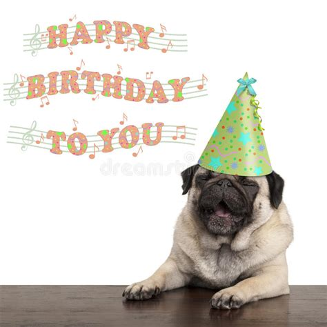 pug singing happy birthday adorable pug puppy singing happy birthday to you stock image image of