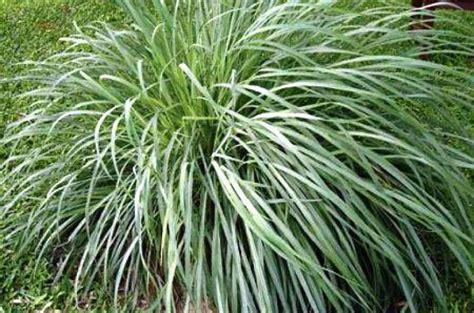 Tanaman Serai Wangi By Rosflorist 8 tanaman cantik pengusir nyamuk kingdom plantae