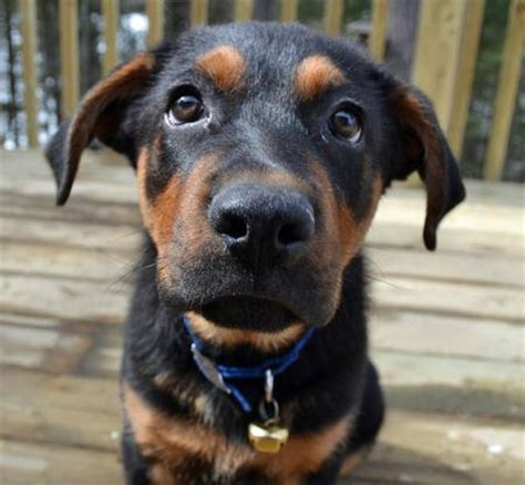 buy rottweiler mix nico the rottweiler mix puppies daily puppy