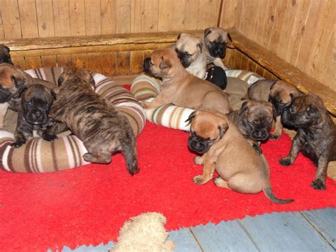 bullmastiff puppies near me the gallery for gt kitsch workout lone survivor