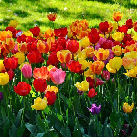 Tulpen Einpflanzen tulpen pflanzen und pflegen