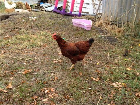 Backyard Chickens Island Is This A Rhode Island