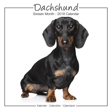 doxie calendar 2018 books dachshund studio range calendar 2018 pet prints inc
