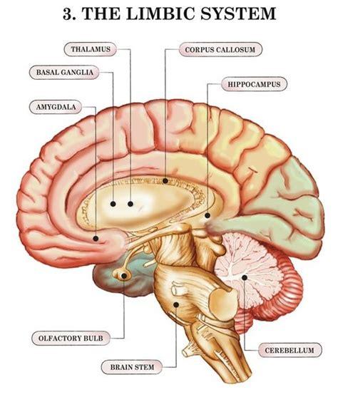 limbic system diagram june 2016