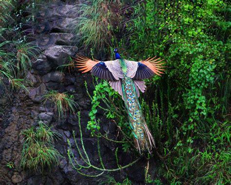 Peacock L by Photos De Paons