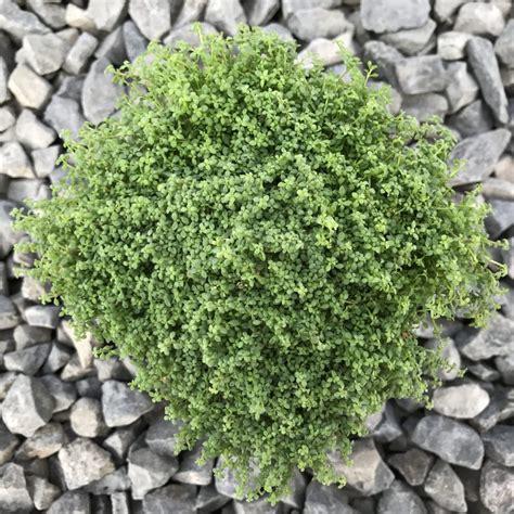 arenaria balearica corsican sandwort  pot