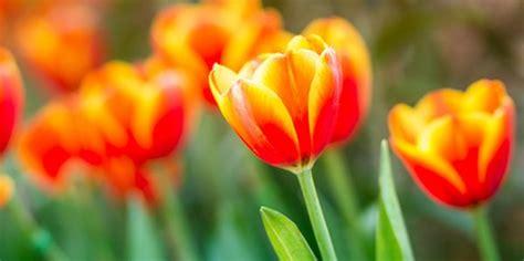 come piantare i tulipani in vaso tulipani come coltivarli manutenzione e cura greenme