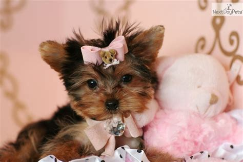 yorkie puppies fort lauderdale fort lauderdale rental backpage