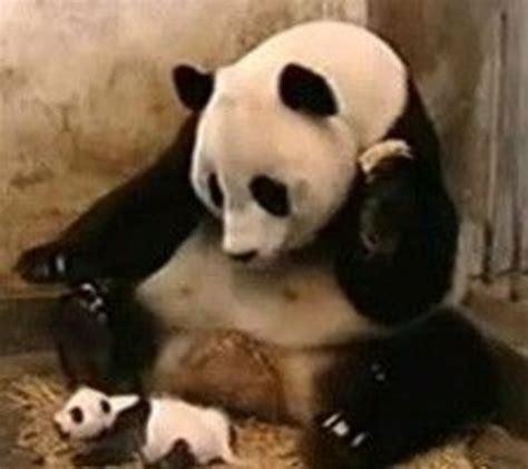 sneezing baby panda know your meme