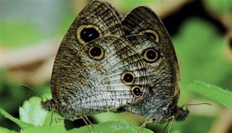 Wdd Tunik Kupu Kupu Putih wabah kupu kupu putih serbu pinrang nasional tempo co