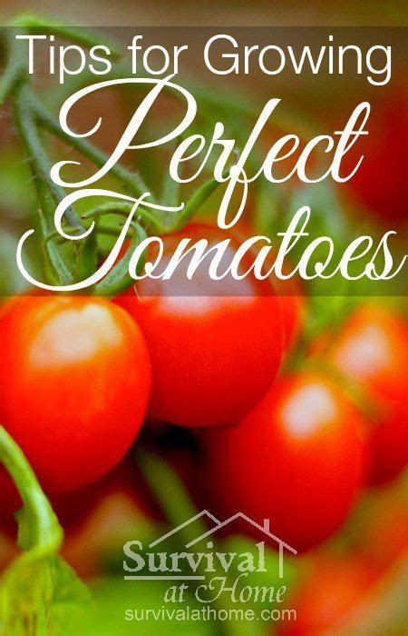 tomatoes have you heard of these tips and advice on tips for growing tomatoes that are perfect every time