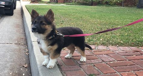 corgi german shepherd mix puppy corgi german shepherd mix characteristics appearance and pictures