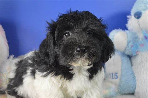 royal flush havanese havanese puppies for sale royal flush havanese