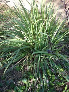 Grass Medicinal Uses by Aquarian Bath Culinary Medicinal Uses For Lemon Grass