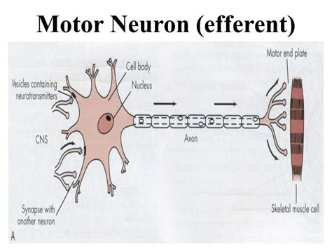 motor efferent introduction to local anesthesia and neurophysiology ppt