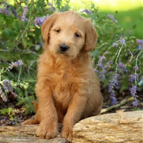 goldendoodle puppy rescue nj labradoodle puppies for sale in de md ny nj philly dc and
