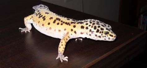 leopard gecko shedding problems