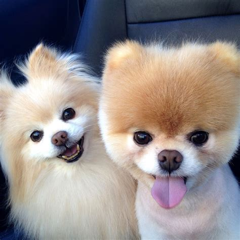 cutest pomeranians boo haircut pomeranian hairstylegalleries