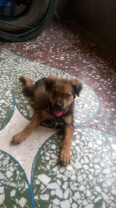 boerboel and rottweiler crossbreed my pitbull rottweiler cross breed pets nigeria