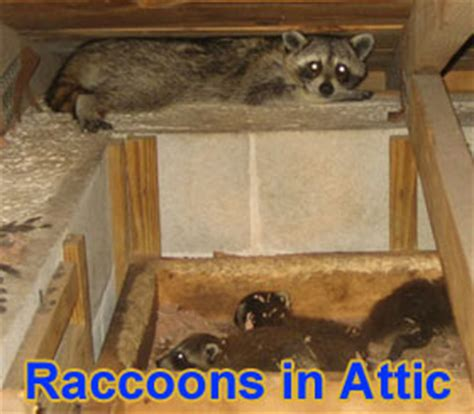 Scratching Noise In Ceiling by Noises In The Attic Are Animals Causing Noise In