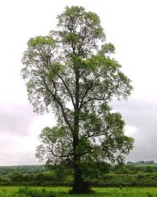 elm tree meaning file east coker elm 2 jpg wiktionary