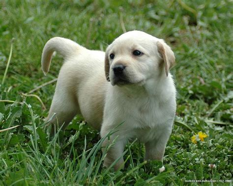 pictures of labrador puppies 1600 1200 labrador puppy outdoor pictures 4 wallcoo net