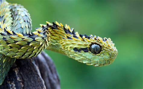 Korek King Yellow Ular Plus Asbak bush viper s leaf like scales weirdtwist