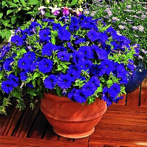images of 6 flowers in pots 36 best images about petunias on container gardening and hanging baskets