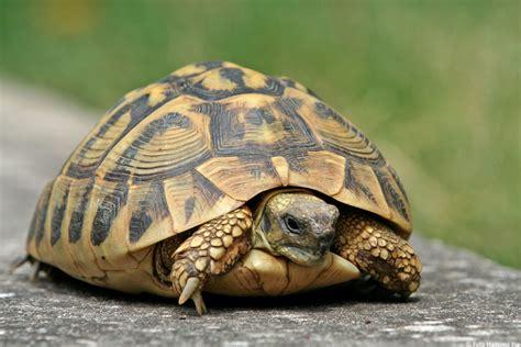 alimentazione tartarughe di terra piccole tartaruga