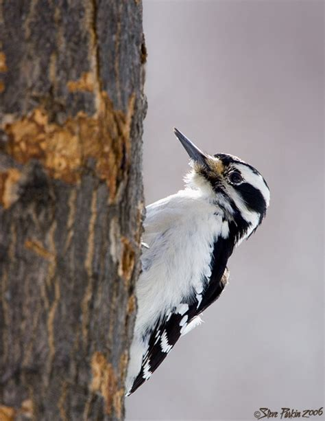 hairy woodpecker photo steve parkin photos at pbase com