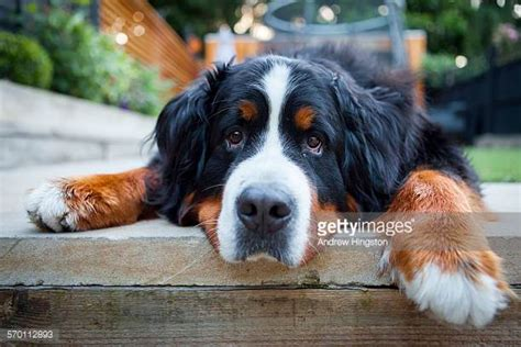 pictures of bernese mountain dogs bernese mountain stock photos and pictures getty images
