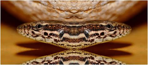 Lu Reptil reptile totalement inconnu