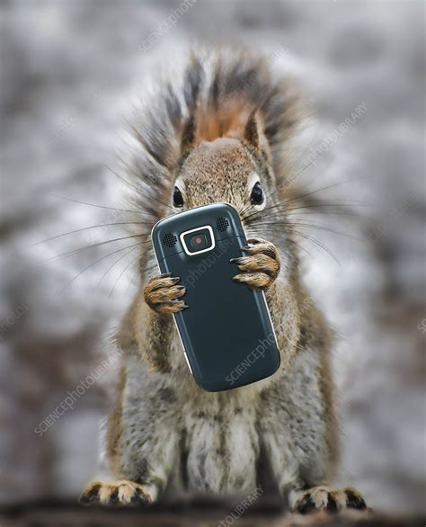 squirrel  cell phone stock image  science photo library