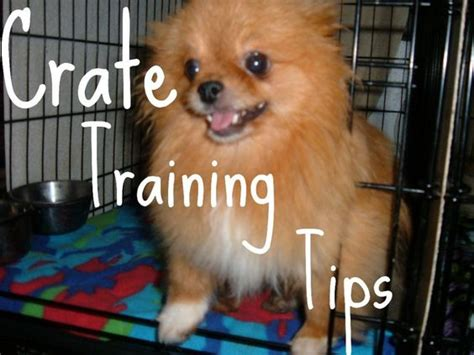 pomeranian crate puppys and happy on