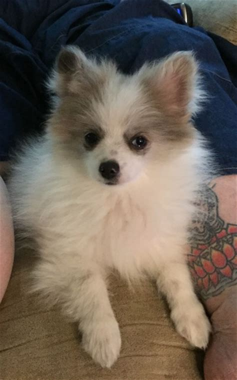 problems with pomeranians housebreaking problems with a pomeranian thriftyfun