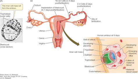 implantation diagram human blastocyst diagram www pixshark images