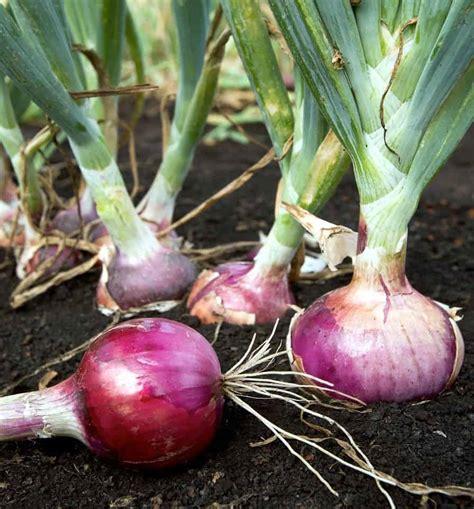 cipolle in vaso combattere la dorifora della patata orto biologico