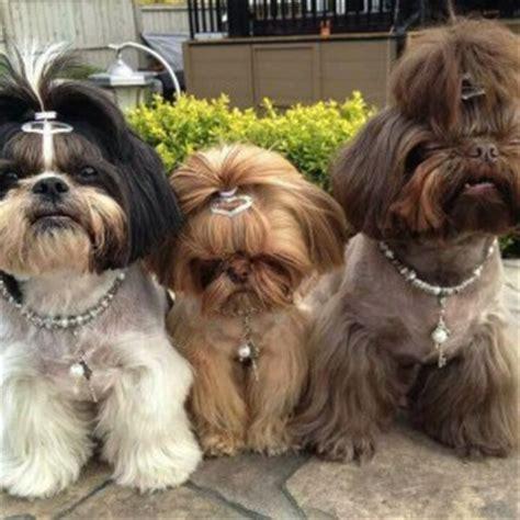 yorkie shu shih tzu hairstyles shih shu shih tzus and animal