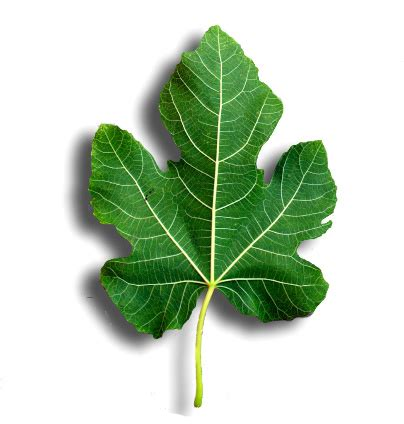 fig leaves provide a natural remedy for diabetes and much