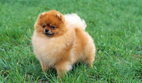 breed pomeranian pomeranian breed information
