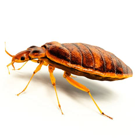 how to get rid of bed bugs yourself how to get rid of box elder bugs how to get rid of stuff