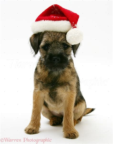 Dog: Border Terrier pup with Santa hat on photo - WP17606