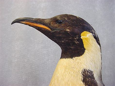 Do Eagles Shed Their Beaks by How To Clip A Doves Beak Parrot Beak Peeling