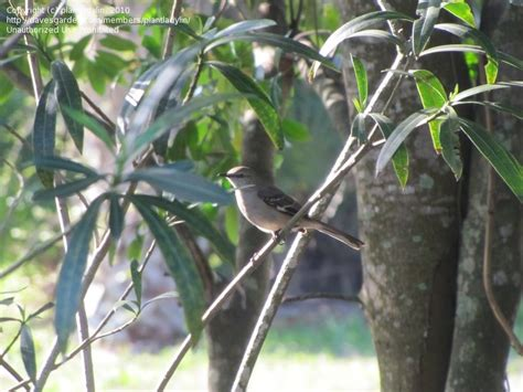 bird pictures northern mockingbird mimus polyglottos by