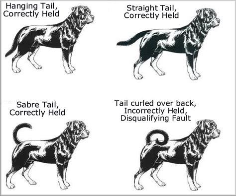 rottweiler tails rottweiler standard