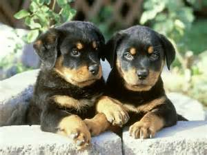 rottweiler baby baby rottweiler dogs picture
