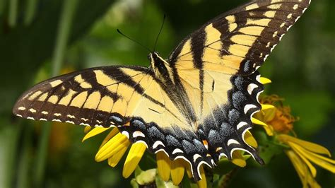 black wallpaper with yellow butterflies butterfly full hd wallpaper and background 1920x1080