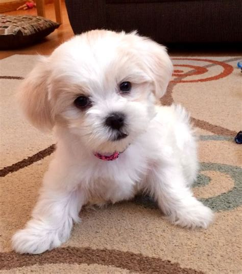 maltese information too cute and puppys on pinterest