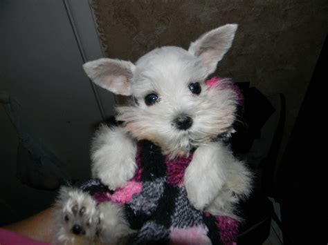 schnauzer puppies for sale teacup and miniature schnauzer puppies for sale
